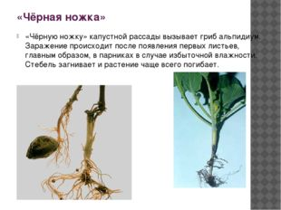 «Чёрная ножка» «Чёрную ножку» капустной рассады вызывает гриб альпидиум. Зара