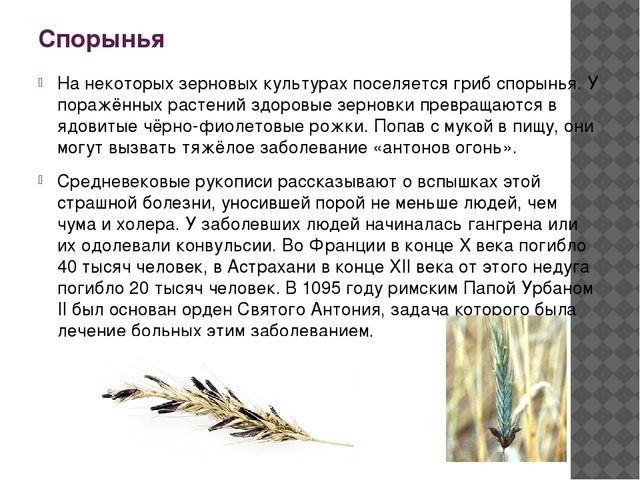 Спорынья На некоторых зерновых культурах поселяется гриб спорынья. У поражённ...