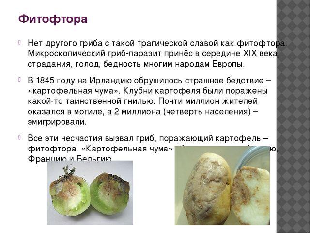 Фитофтора Нет другого гриба с такой трагической славой как фитофтора. Микроск...