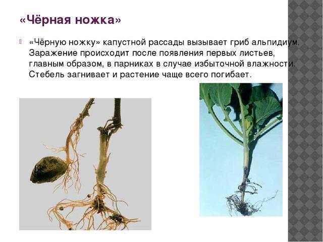 «Чёрная ножка» «Чёрную ножку» капустной рассады вызывает гриб альпидиум. Зара...