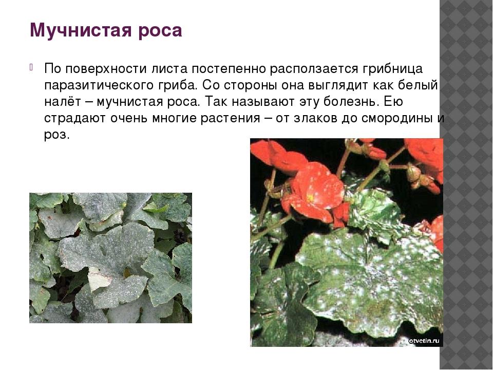 Мучнистая роса По поверхности листа постепенно расползается грибница паразити...