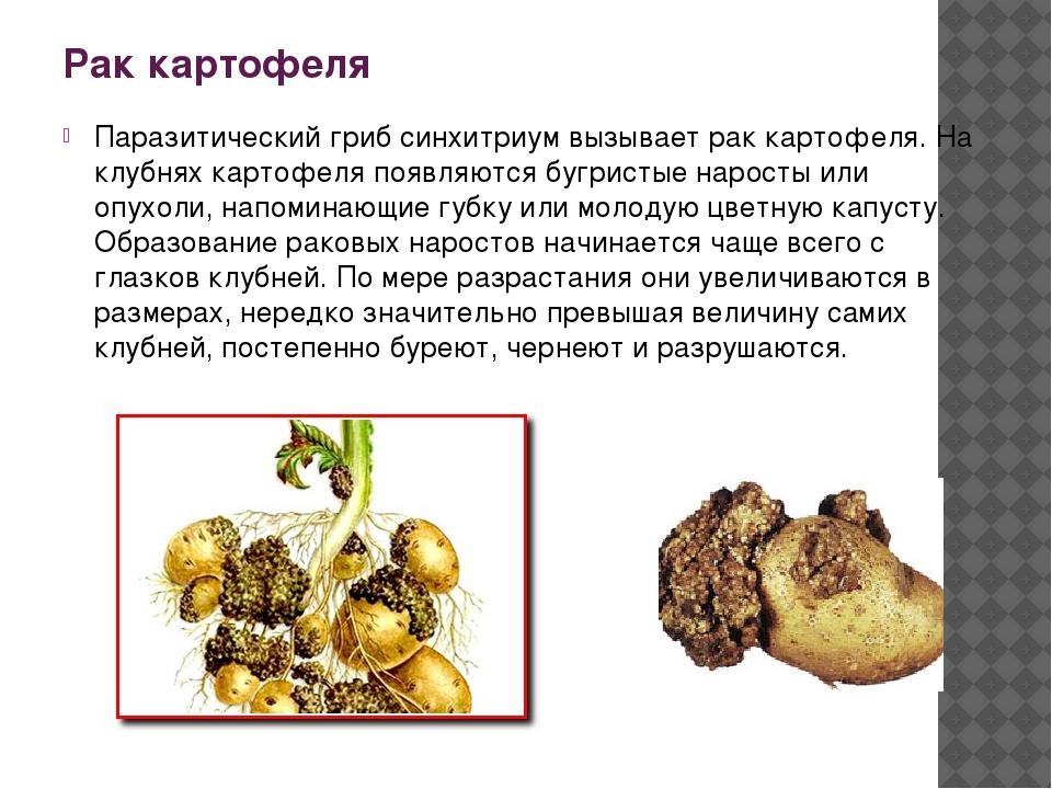 Рак картофеля Паразитический гриб синхитриум вызывает рак картофеля. На клубн...