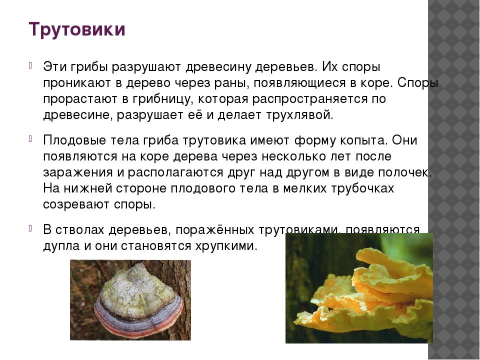 Трутовики Эти грибы разрушают древесину деревьев. Их споры проникают в дерево...