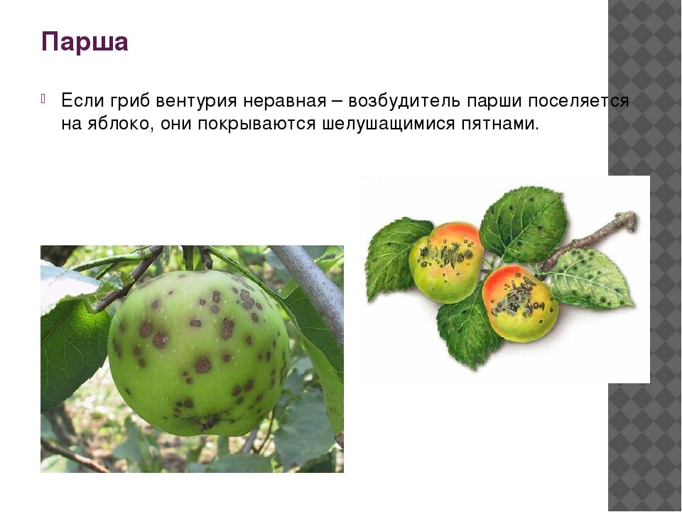 Парша Если гриб вентурия неравная – возбудитель парши поселяется на яблоко, о...