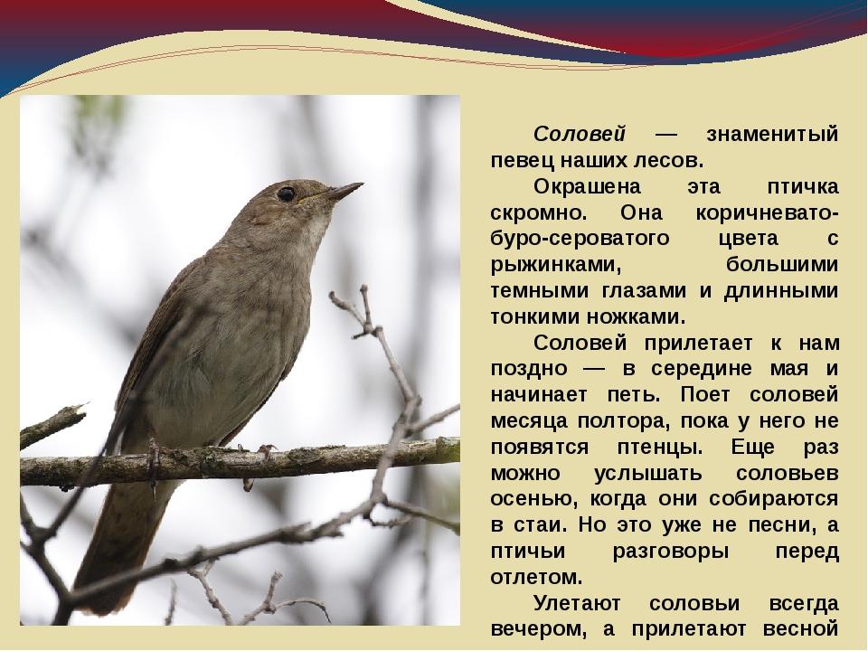 Соловей — знаменитый певец наших лесов. Окрашена эта птичка скромно. Она ко...