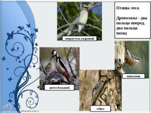 Птицы леса Древолазы - два пальца вперед, два пальца назад свиристель кедровы