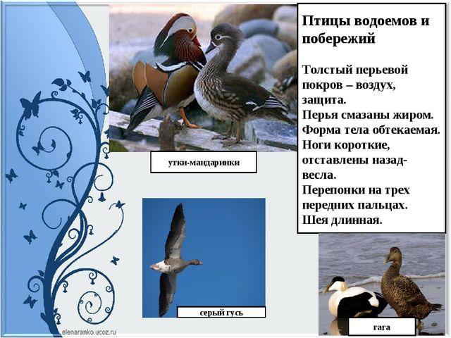 Птицы водоемов и побережий Толстый перьевой покров – воздух, защита. Перья см...