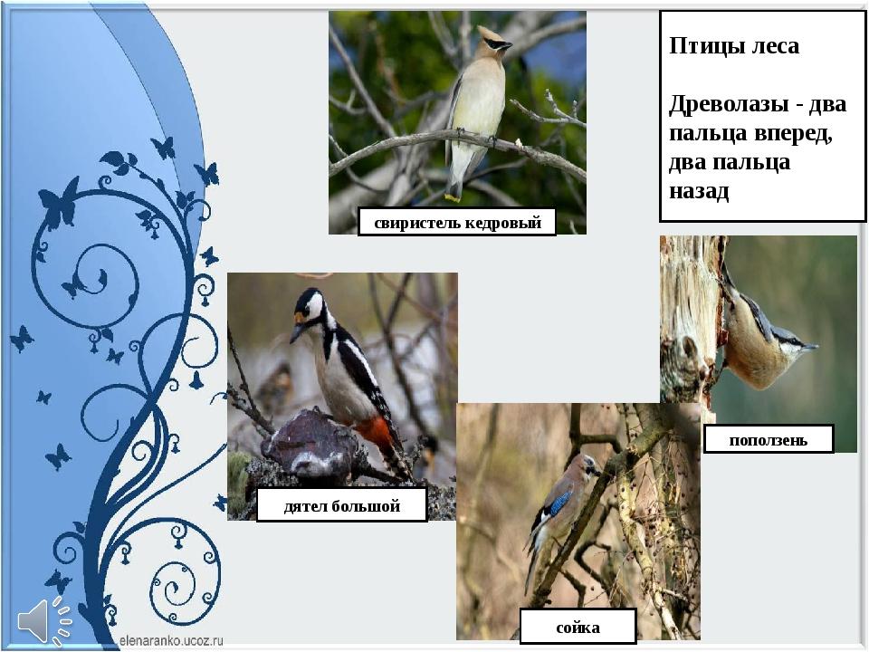 Птицы леса Древолазы - два пальца вперед, два пальца назад свиристель кедровы...