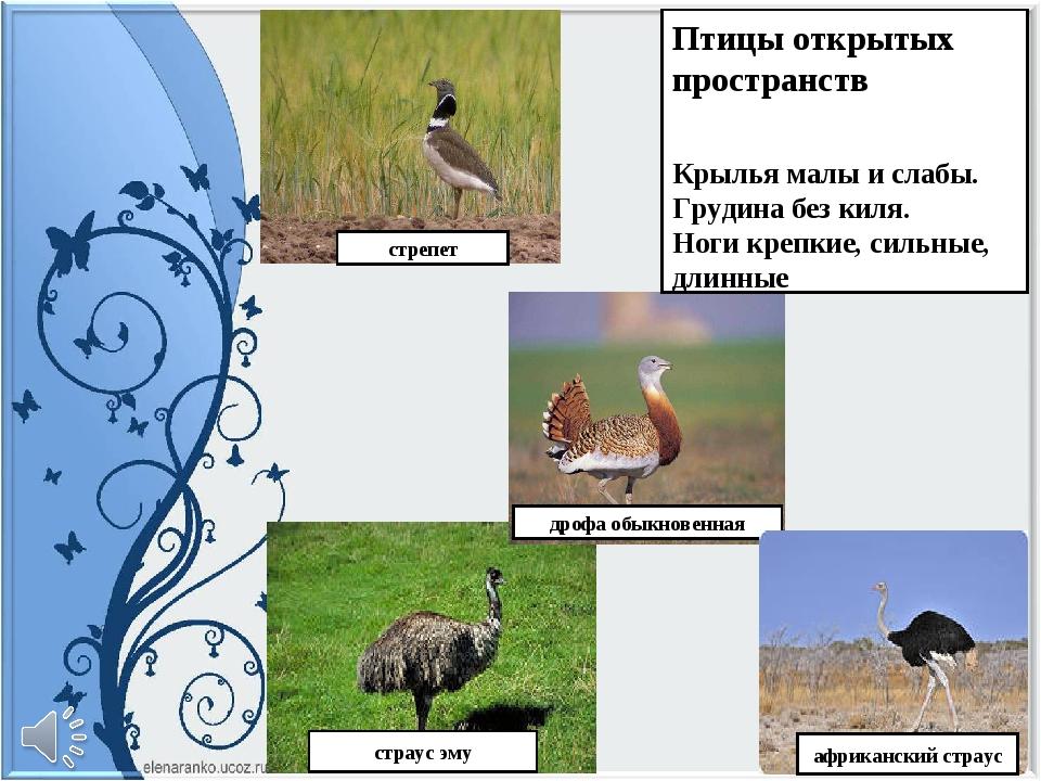 дрофа обыкновенная страус эму Птицы открытых пространств Крылья малы и слабы....