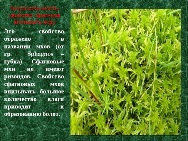 Это свойство отражено в названии мхов (от гр. Sphagnos – губка) Сфагновые мхи...