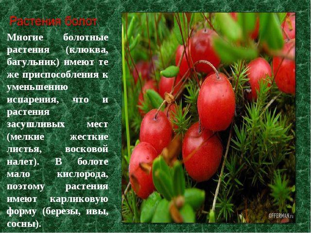 Многие болотные растения (клюква, багульник) имеют те же приспособления к уме...
