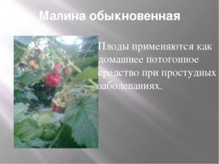 Малина обыкновенная Плоды применяются как домашнее потогонное средство при пр