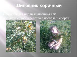 Шиповник коричный Применяются плоды шиповника как поливитаминное средство в н