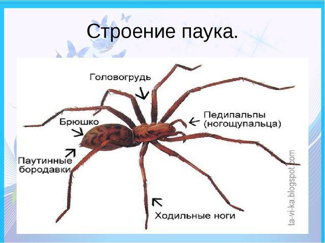 Строение паука.