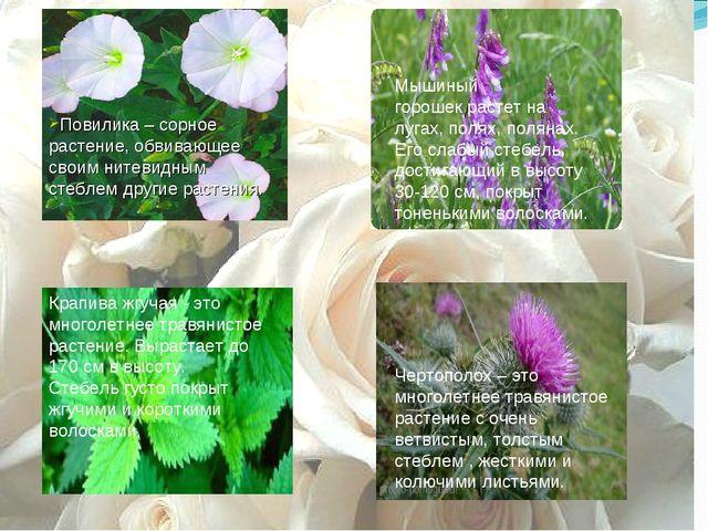 Повилика – сорное растение, обвивающее своим нитевидным стеблем другие растен...