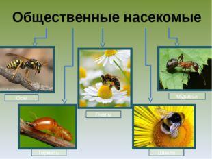 Общественные насекомые Осы Шмели Пчелы Термиты Муравьи