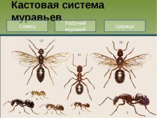 Кастовая система муравьев Самец Рабочий муравей Царица