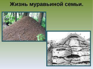 Жизнь муравьиной семьи.