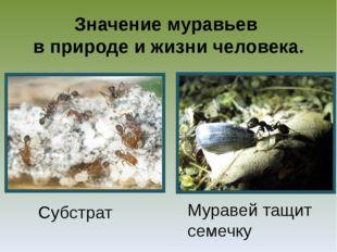 Значение муравьев в природе и жизни человека. Субстрат Муравей тащит семечку