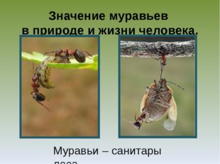 Значение муравьев в природе и жизни человека. Муравьи – санитары леса