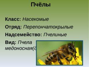 Пчёлы Класс: Насекомые Отряд: Перепончатокрылые Надсемейство: Пчелиные Вид: П