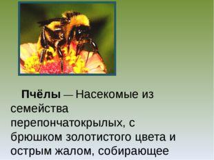 Пчёлы — Насекомые из семейства перепончатокрылых, с брюшком золотистого цвет