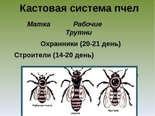 Кастовая система пчел Матка Рабочие Трутни Охранники (20-21 день) Строители (
