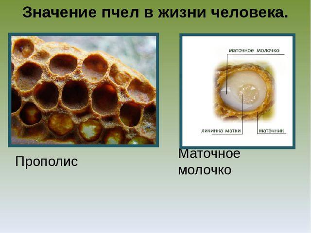 Значение пчел в жизни человека. Прополис Маточное молочко