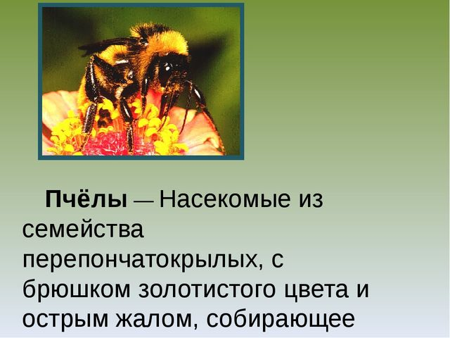 Пчёлы — Насекомые из семейства перепончатокрылых, с брюшком золотистого цвет...