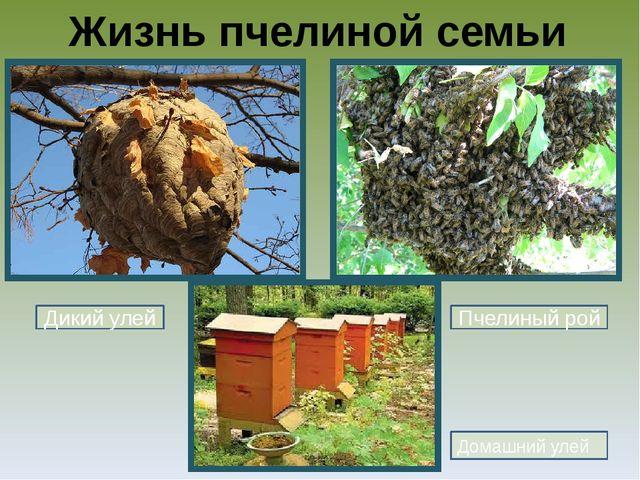 Жизнь пчелиной семьи Домашний улей Дикий улей Пчелиный рой
