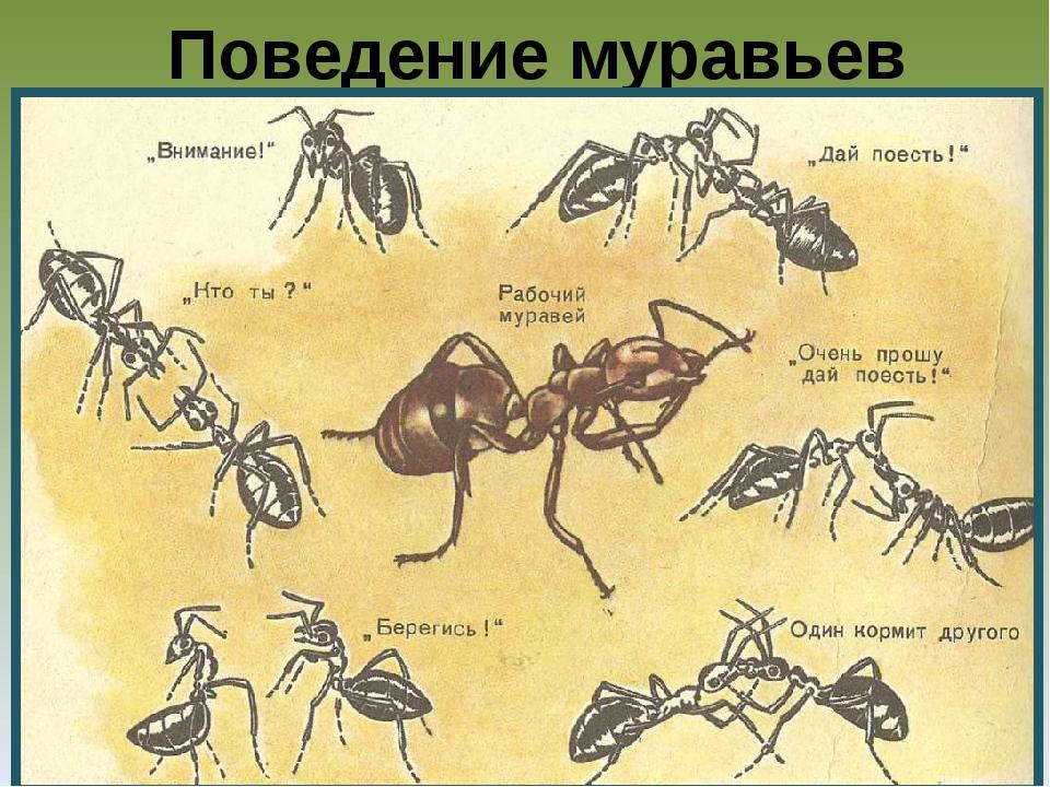 Поведение муравьев