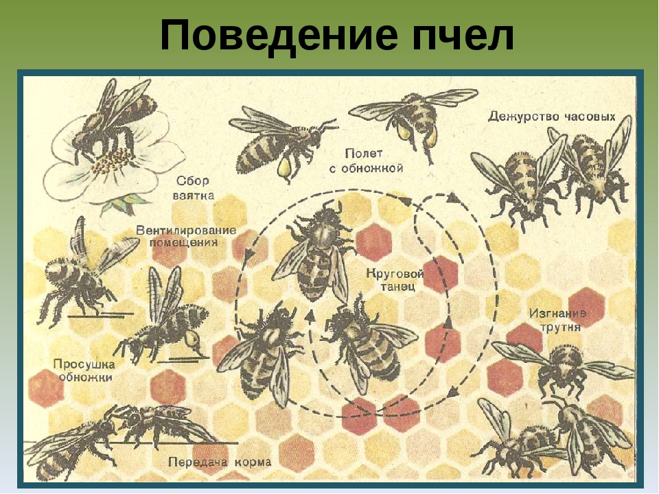 Поведение пчел