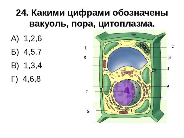 24. Какими цифрами обозначены вакуоль, пора, цитоплазма. А) 1,2,6 Б) 4,5,7 В)...