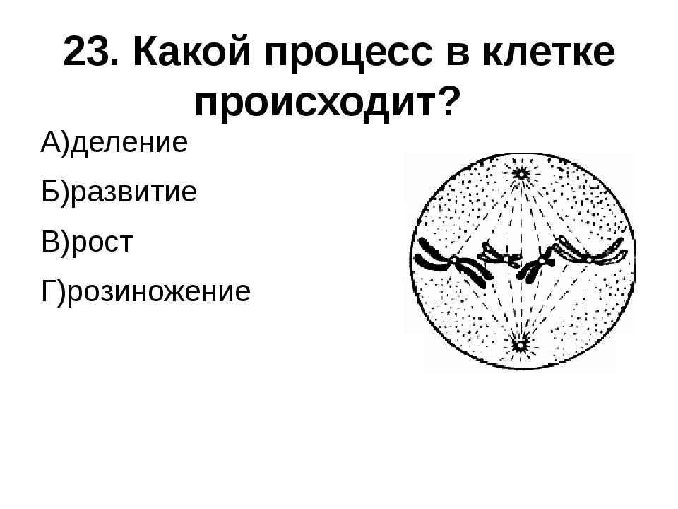 23. Какой процесс в клетке происходит? А)деление Б)развитие В)рост Г)розиноже...