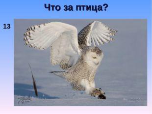 Что за птица? 13
