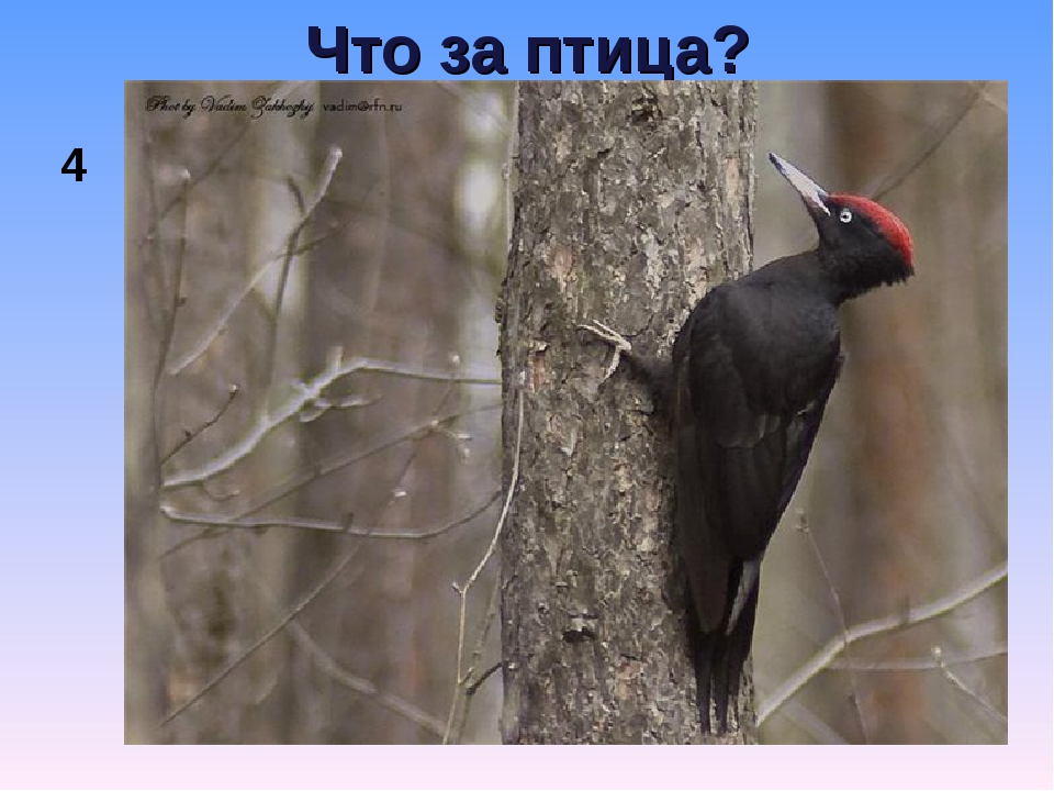 Что за птица? 4