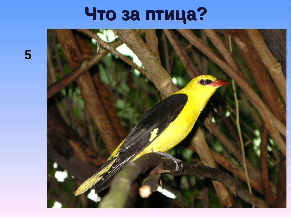 Что за птица? 5