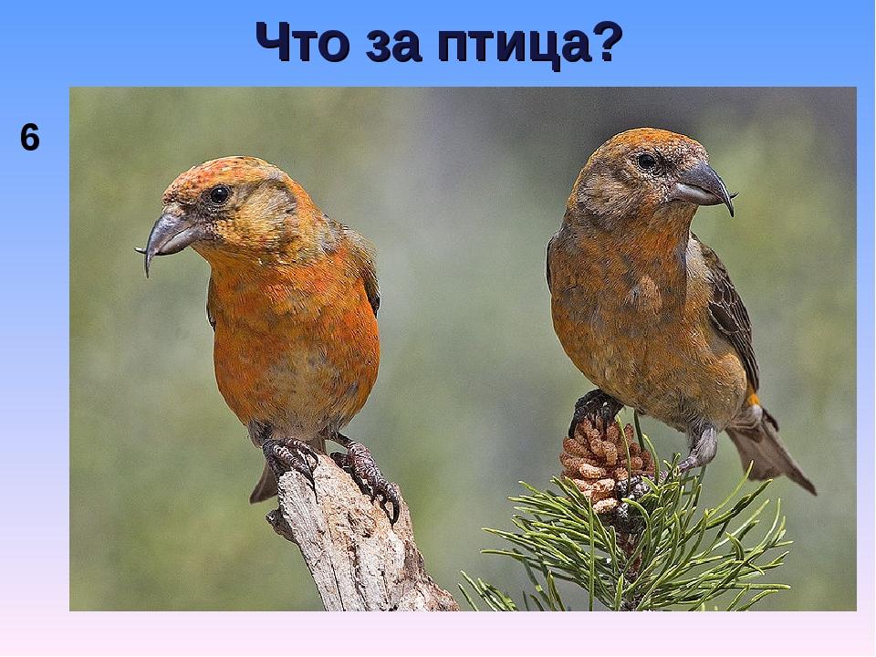 Что за птица? 6