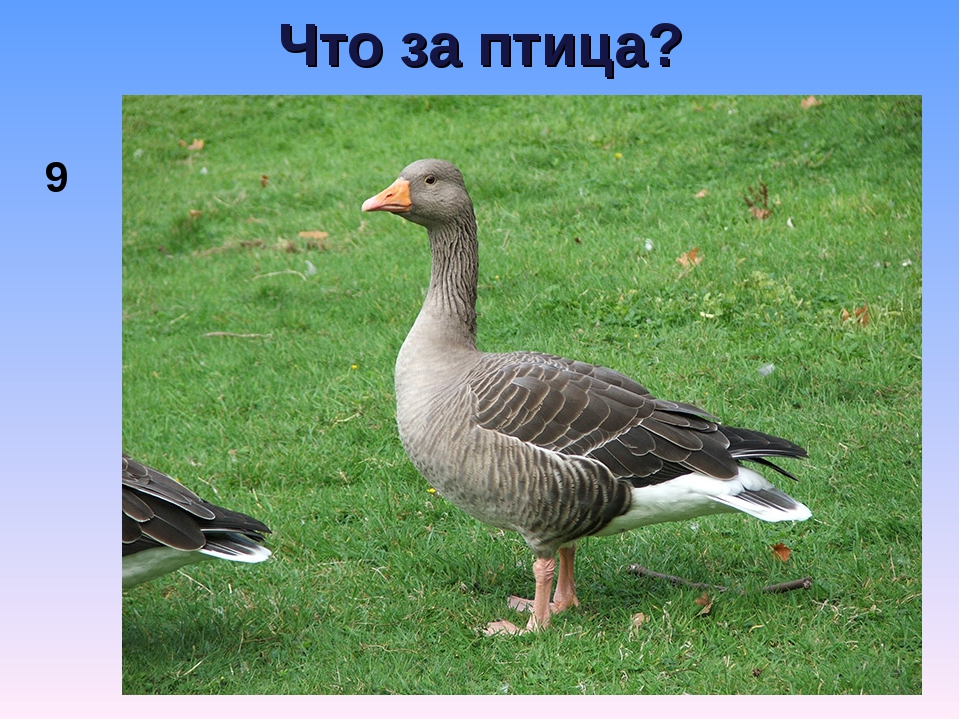 Что за птица? 9