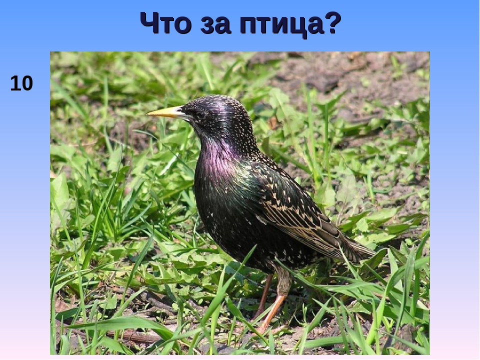 Что за птица? 10
