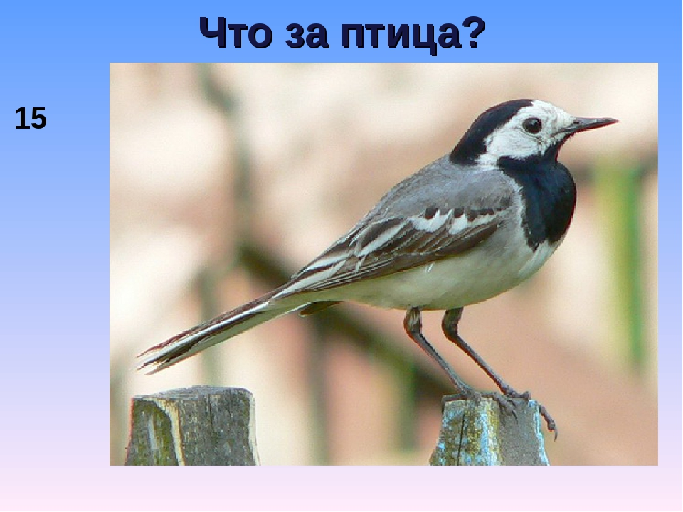 Что за птица? 15