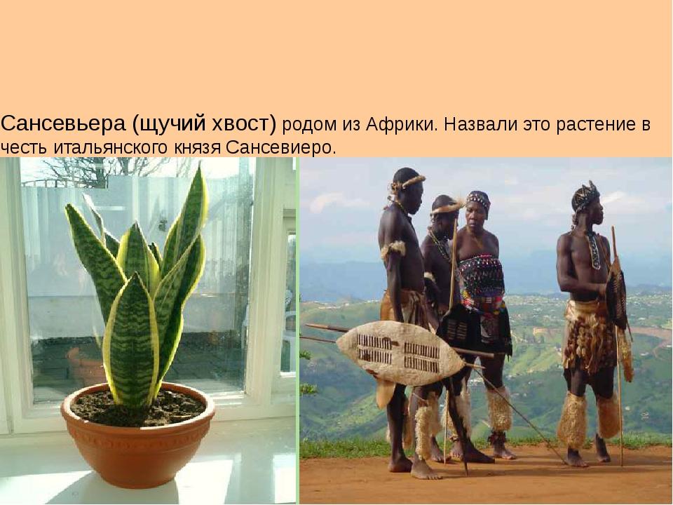 Сансевьера (щучий хвост) родом из Африки. Назвали это растение в честь италь...