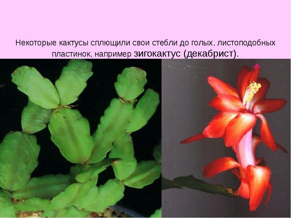 Некоторые кактусы сплющили свои стебли до голых, листоподобных пластинок, на...