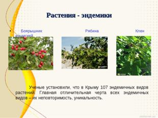 Растения - эндемики Боярышник Рябина Клен крымский Ученые установили, что в К