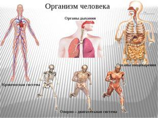 Организм человека Кровеносная система Органы дыхания Опорно – двигательная си