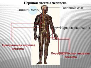 Нервная система человека Спинной мозг Головной мозг Нервные окончания Централ