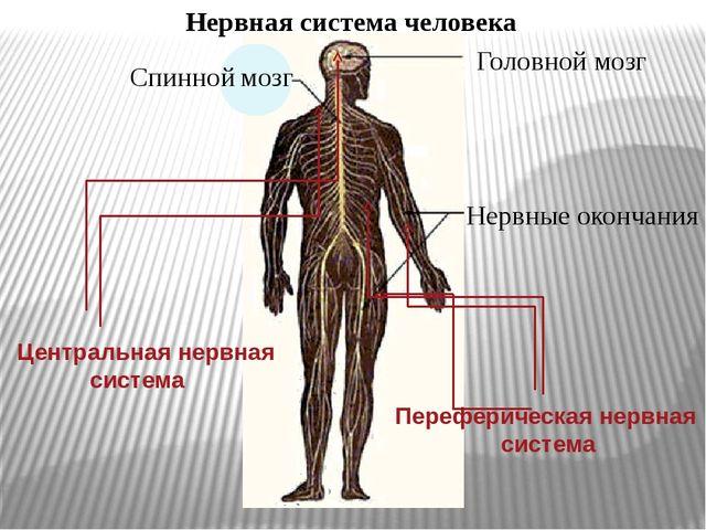 Нервная система человека Спинной мозг Головной мозг Нервные окончания Централ...