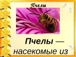 Пчелы Пчелы — насекомые из семейства перепончатокрылых, с брюшком золот