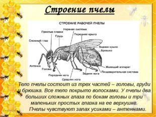 Строение пчелы Тело пчелы состоит из трех частей – головы, груди и брюшка. Вс