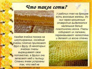 Что такое соты? У рабочих пчел на брюшке есть восковые железы. Из них через к